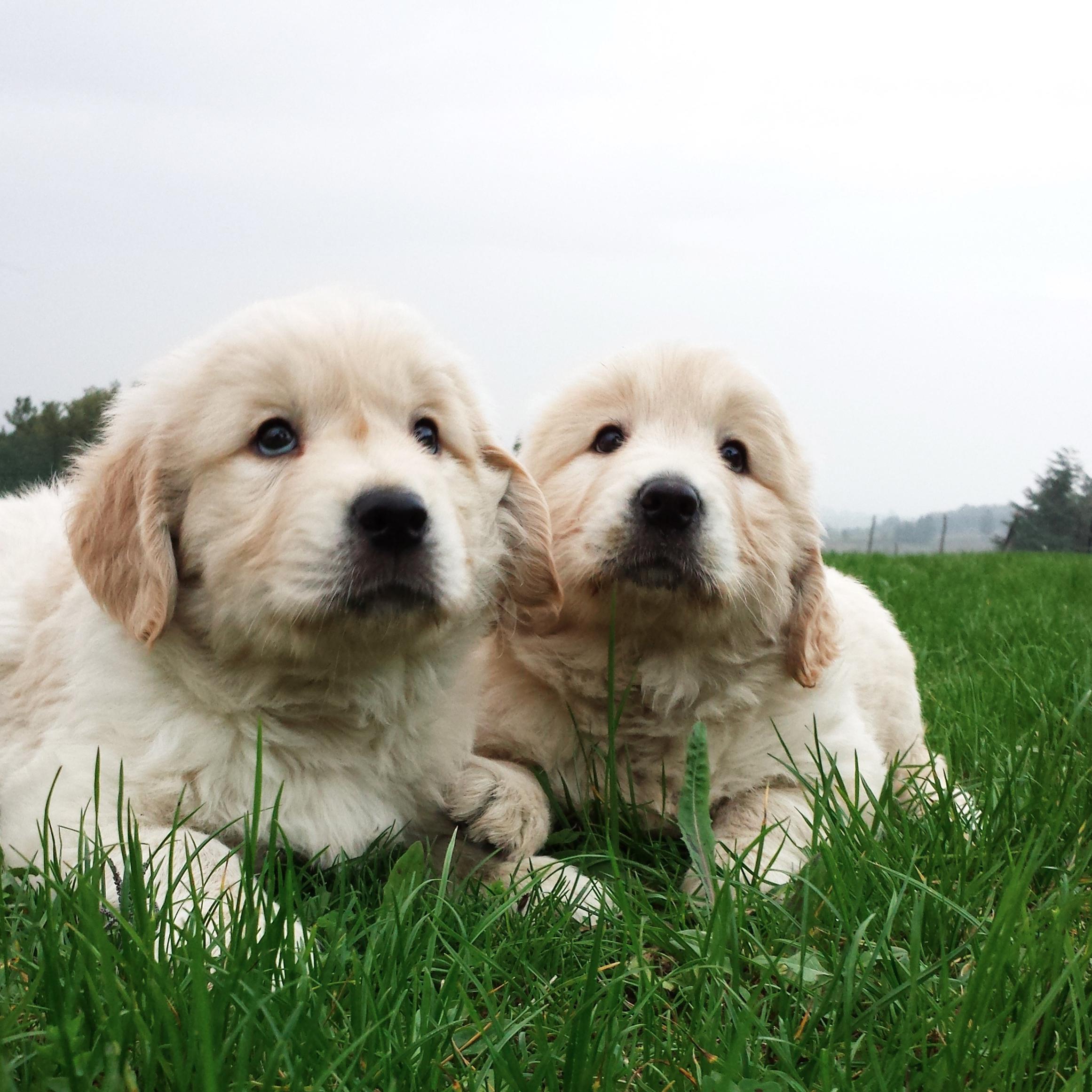 cuccioli-golden-retriever