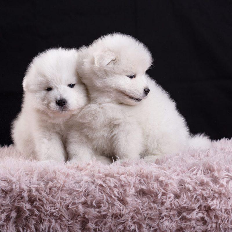 servizio fotografico cuccioli samoiedo