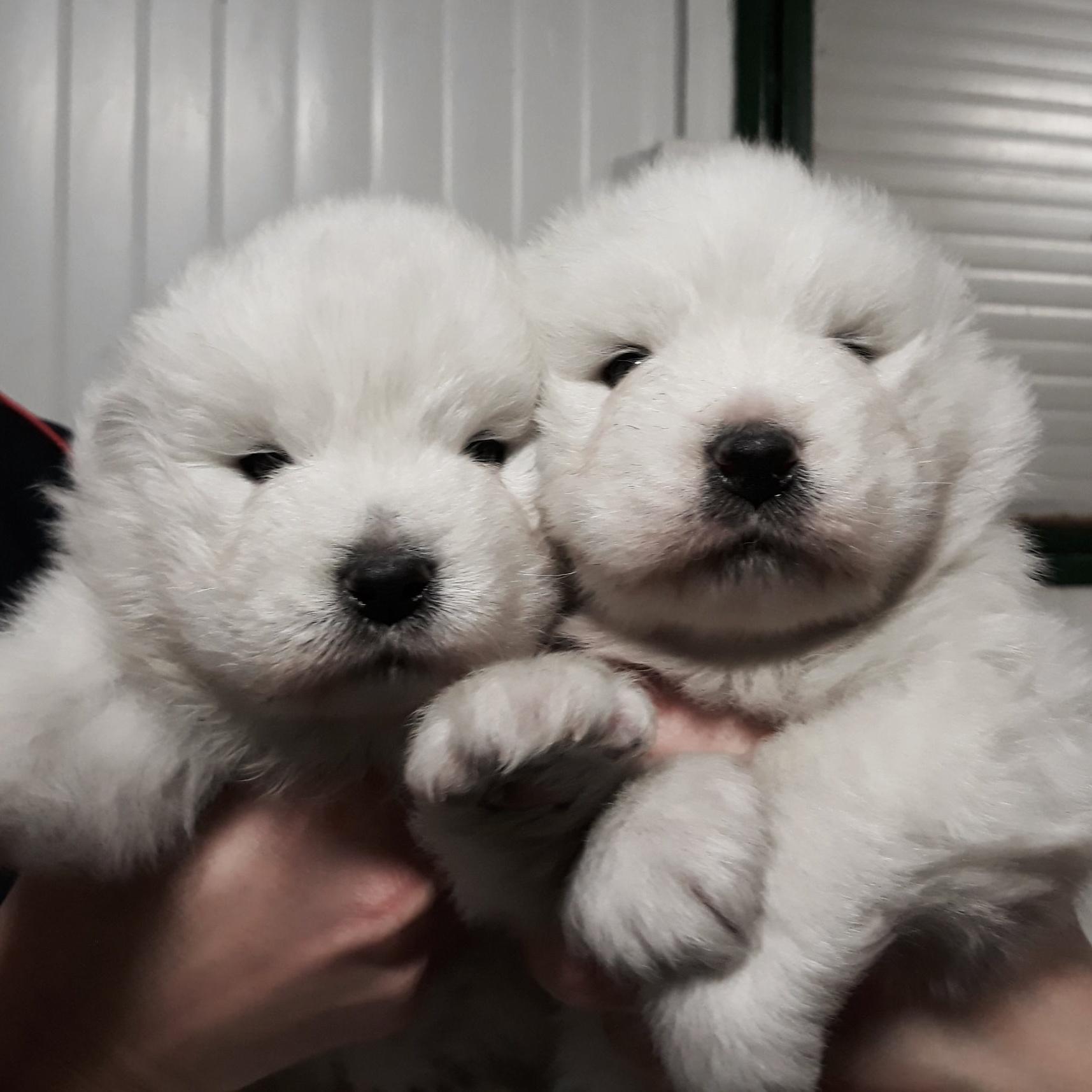 cuccioli samoiedo